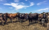 Heading to Australia on a working holiday and looking to extend your visa for another year? Working on a Dairy Farm is a great way to tick off your 88 days. Find out what a typical working day is like on a dairy farm here.