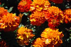 Marigolds - Grief and Pain