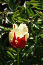 Variegated Tulip ~ Beautiful Eyes