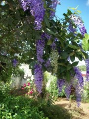 Wisteria ~Welcome Fair Stranger