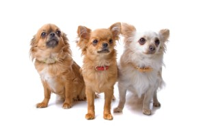 http://www.dreamstime.com/royalty-free-stock-image-group-three-chihuahua-dogs-image15742176