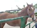 cavalls-11
