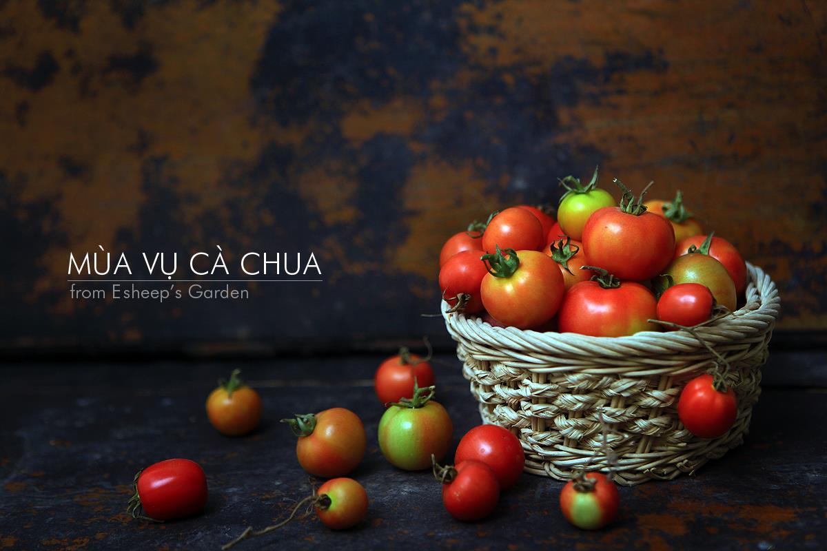 mùa vụ cà chua