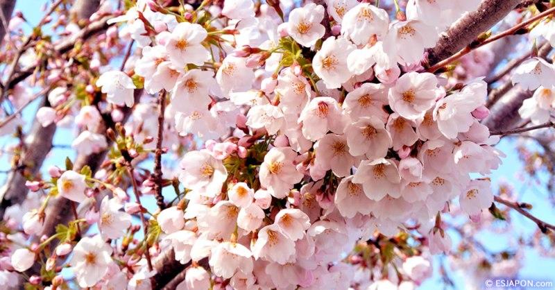 Hanami en Madrid.  Contemplar las flores de los cerezos.