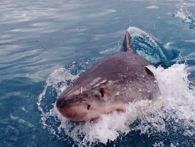 サメは年間約10人の命を奪う!年間約100万人以上の命を奪う動物とは?