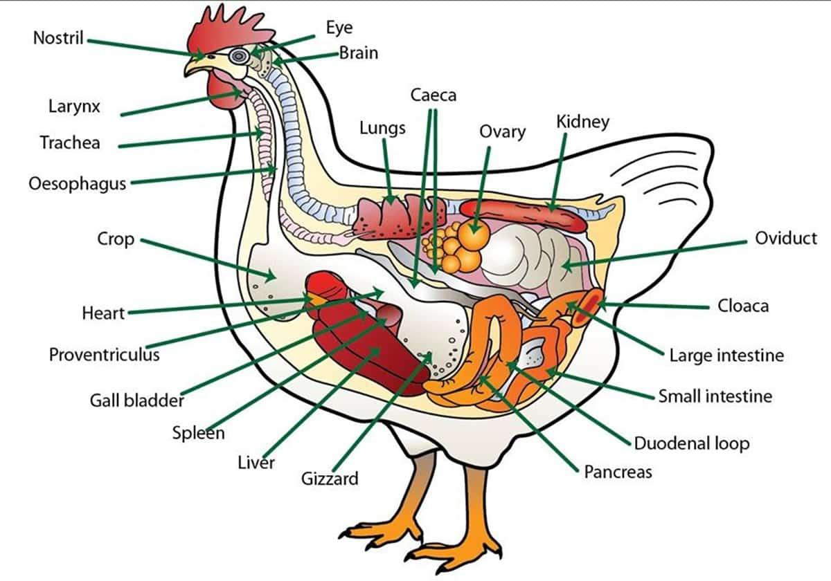 Farm/ Domestic Animals Vocabulary in English 20