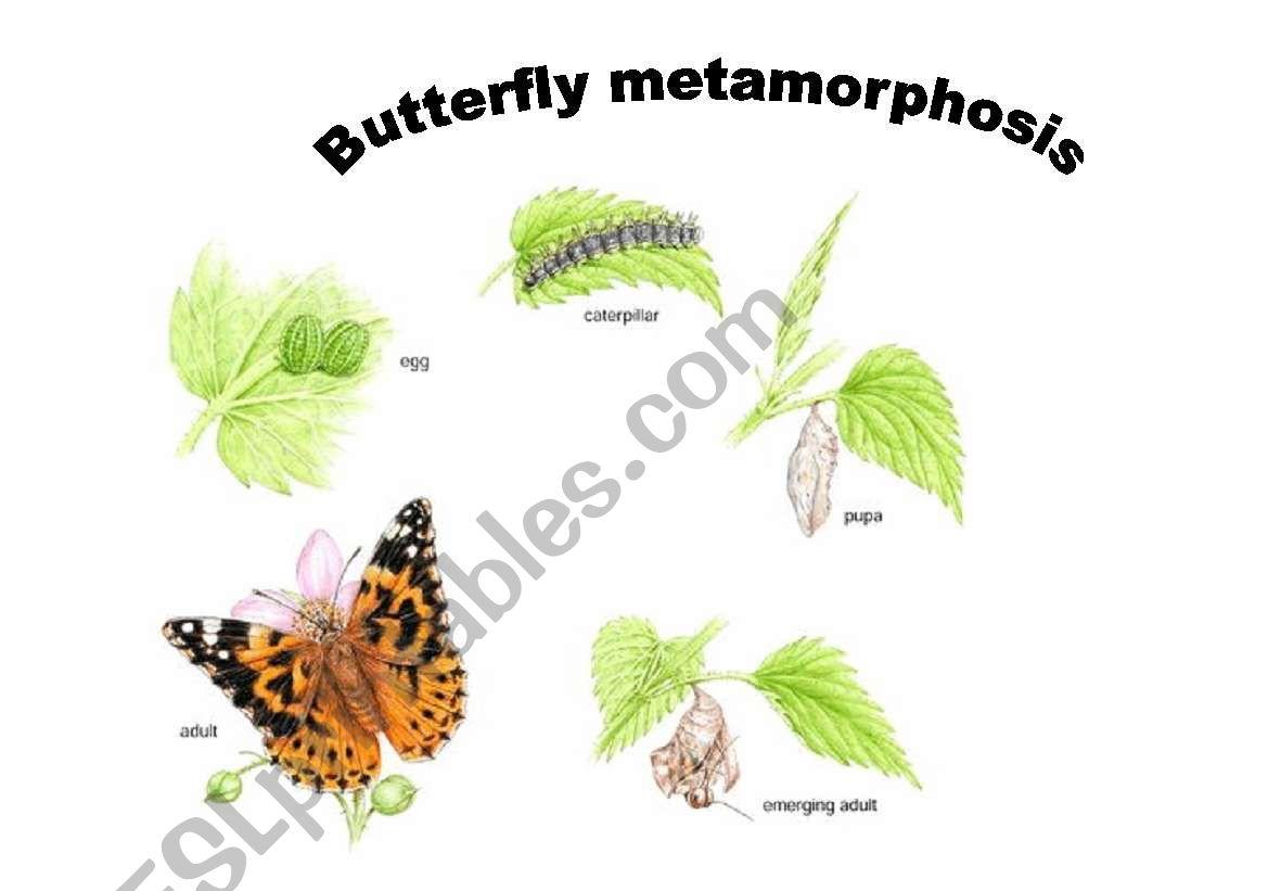 English Worksheets Butterfly Metamorphosis