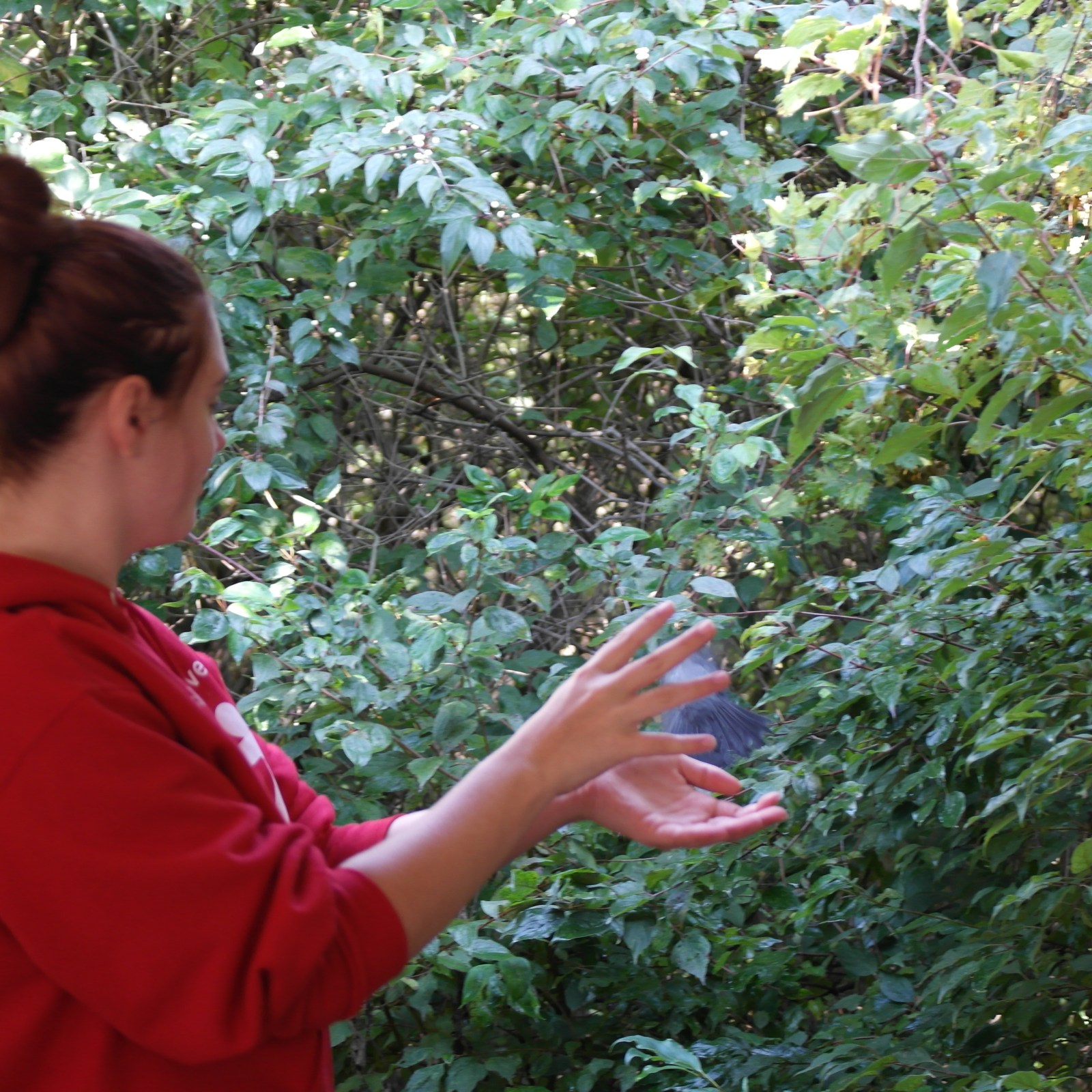 Junior Chelsea Fisher releasing a grey cat bird after it was tagged (Photo Credit: Brooke Schumacher)