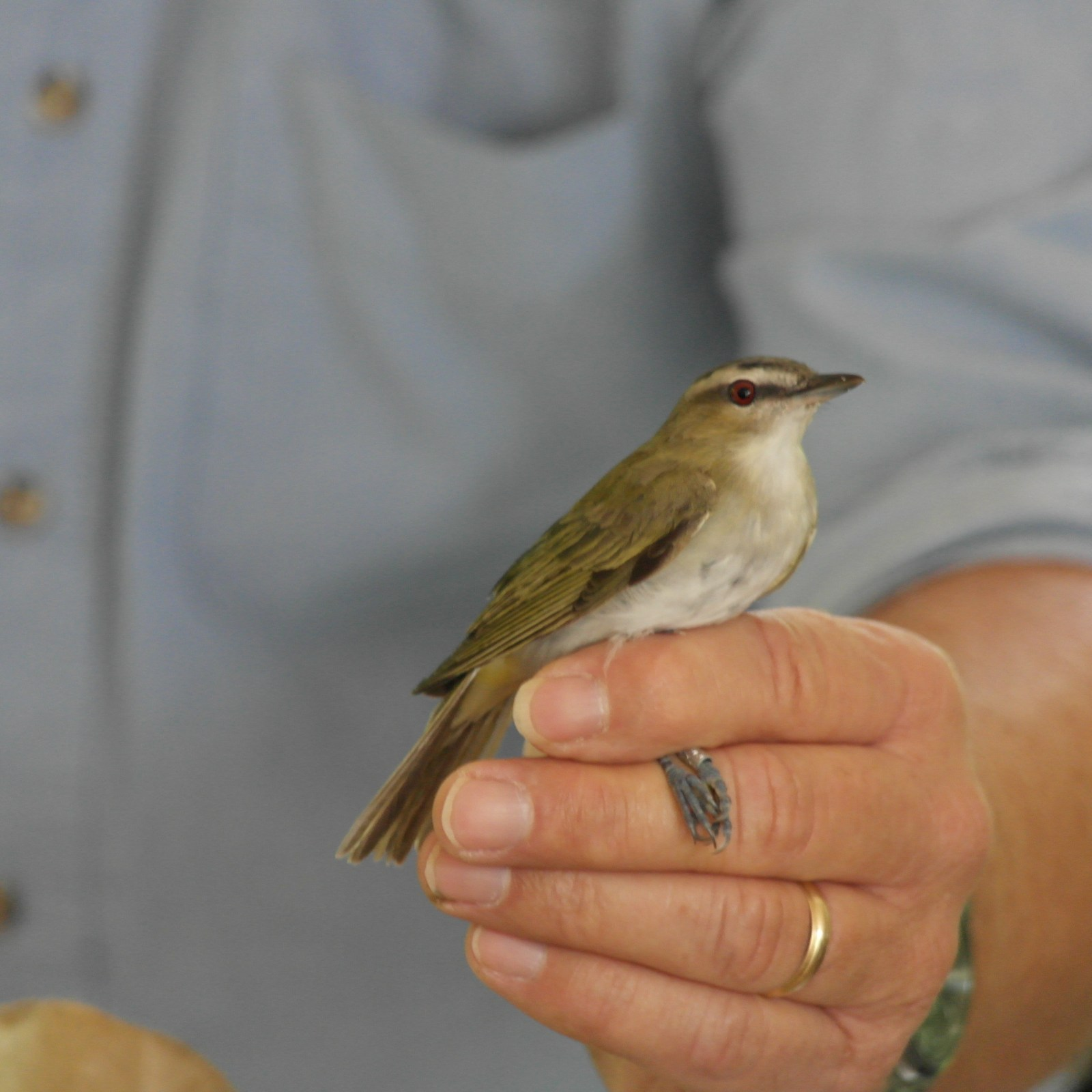 A red eyed vireo (Photo Credits: Chelsea Fisher)