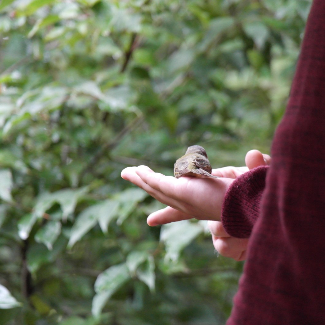 Carlos Rodriguez attempting to release a red eyed vireo, but it just sat down in his hand (Photo Credits: Chelsea Fisher)