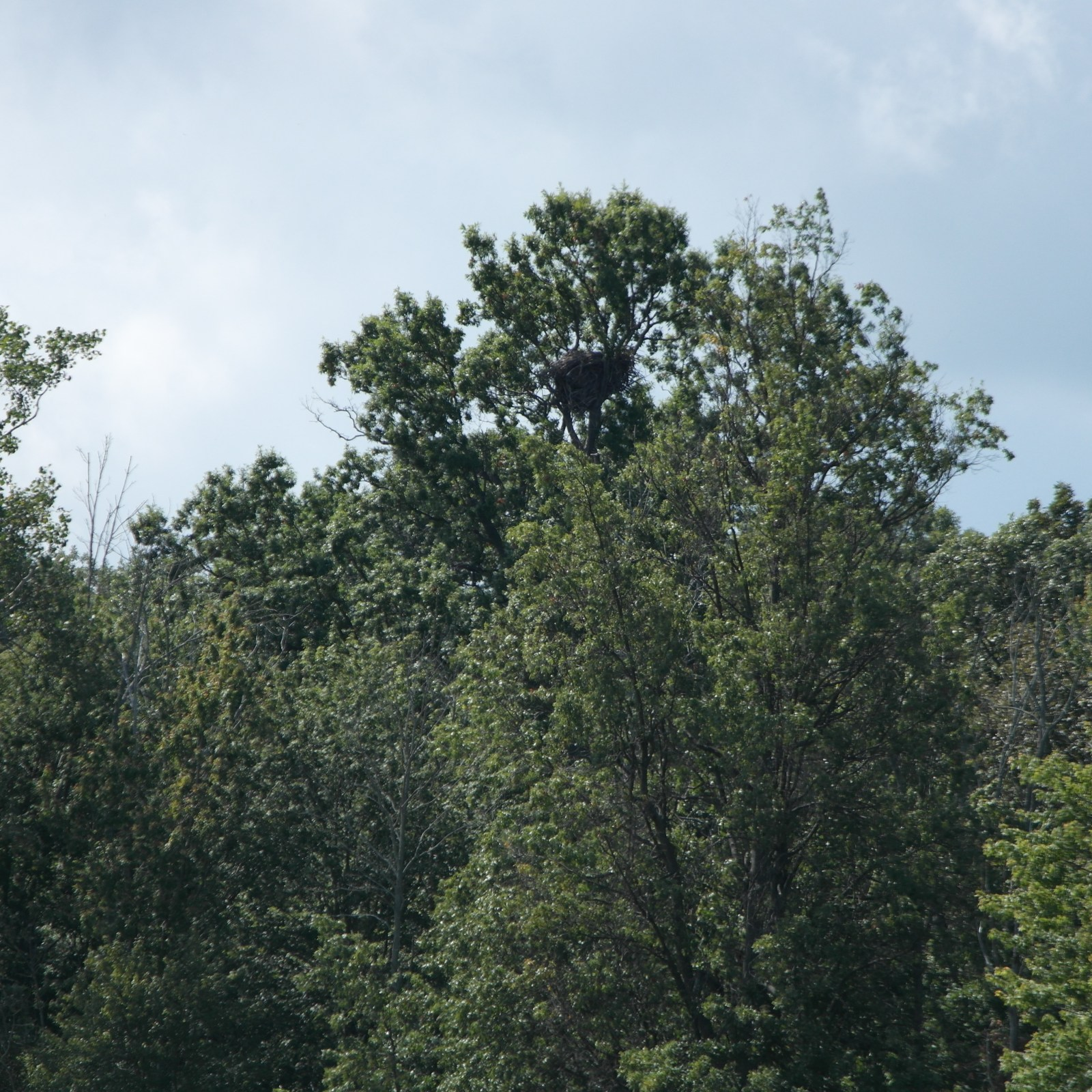A bald eagles' nest weighing roughly 2000 pounds (Photo Credits: Chelsea Fisher)