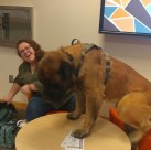 Harvey a large English Mastiff climbing on top of a table that is much smaller than him