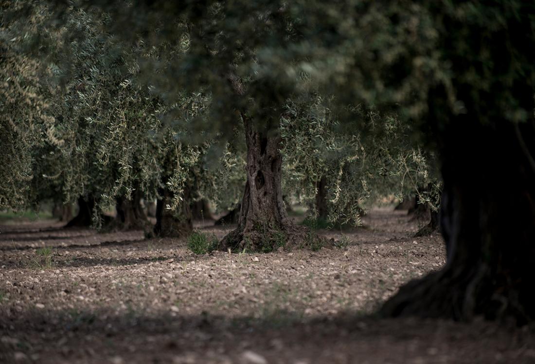 massaria grove