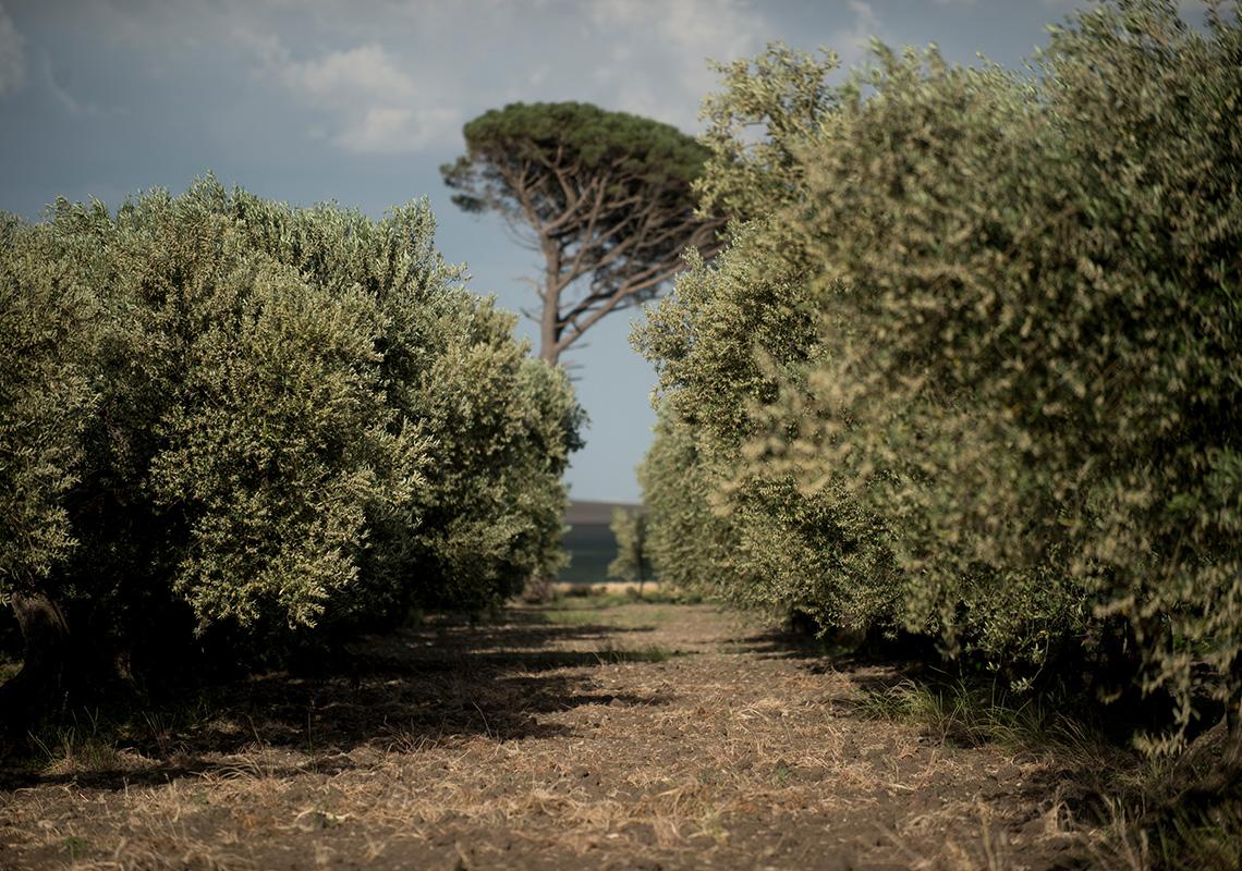 Carolina olive oil grove Puglia italy