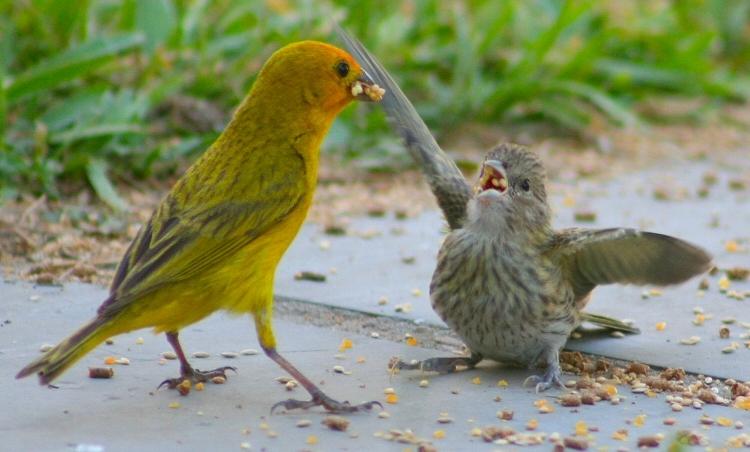Primavera brasileira - pássaros