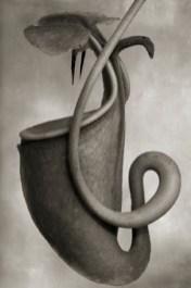 "Beth Moon, ""Nepenthes Bicalcarata"", 2008-2011. Courtesy l'artista e PH Neutro"