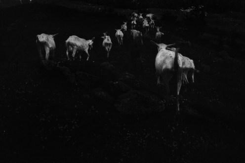 Ilaria Ferretti, Capre_gregge | Goats_herd