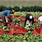 Cercasi lavoratori stagionali in agricoltura: appello delle organizzazioni del settore