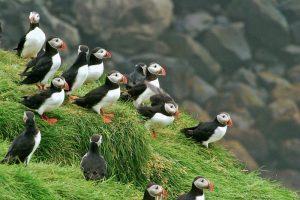 islande-puffin