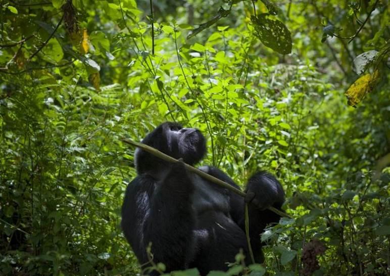 Rencontre avec les gorilles