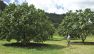 Different varieties of breadfruit are conserved in the world's largest collection of breadfruit at the Breadfruit Institute in Hawaii. (Photo credit: © Jim Wiseman, courtesy of the Breadfruit Institute)