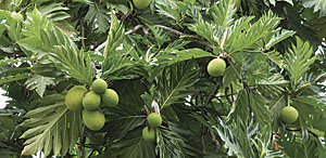 Breadfruit is extremely productive, producing an average of 150–200 and up to as many as 600 nutritious fruits per season.