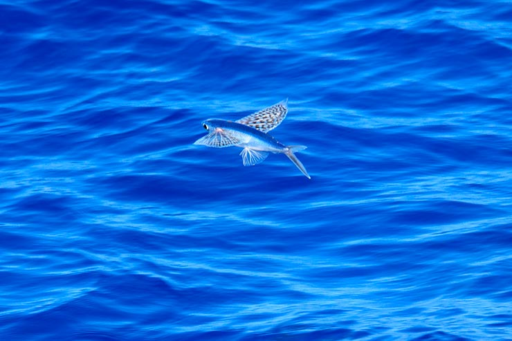 Flying fish (Foto via Shutterstock)
