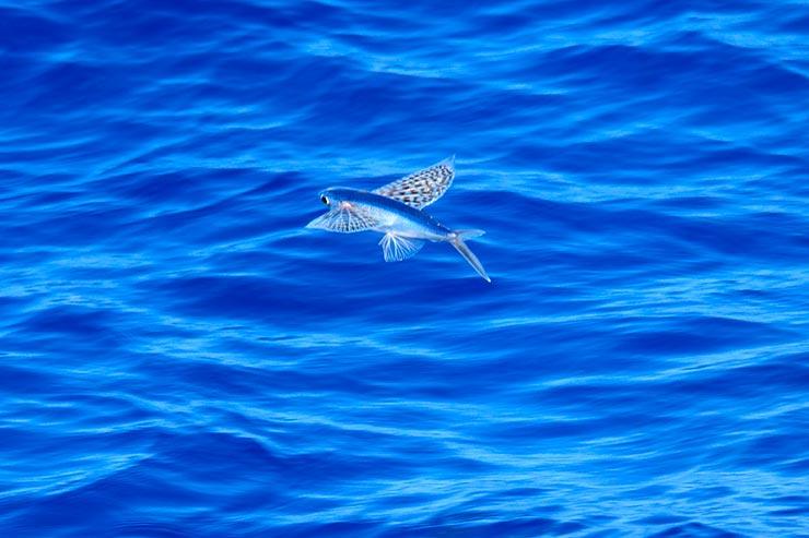 Flying fish (Foto via Shutterstock)