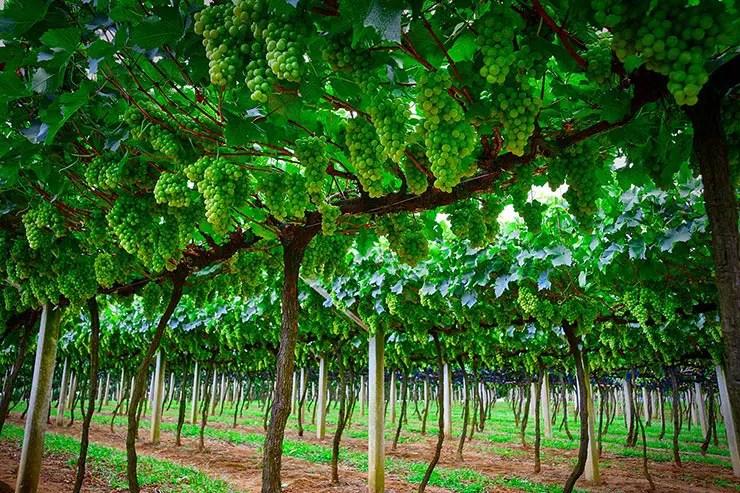 Rota do Vinho em São Roque (Foto: Secretaria de Turismo de SP/Sergio Luiz Jorge - Expressão Studio)