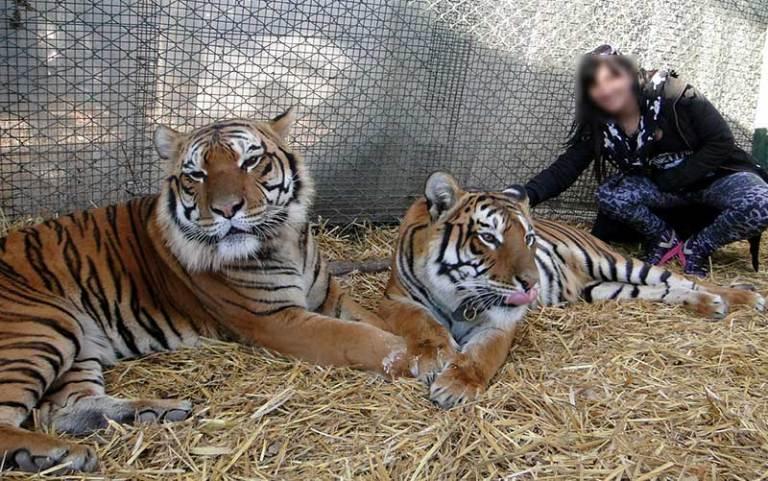 Turista posa com tigres para fotos