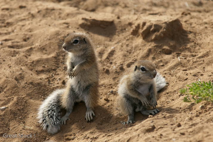 Ground squirrels, Kgalagadi Transfrontier Park (c) South Africa Tourism