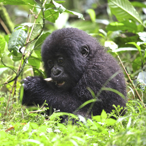 Observe mountain gorillas in Rwanda with Gondwana Ecotours