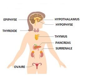 """Résultat de recherche d'images pour """"système endocrinien de la femme"""""""