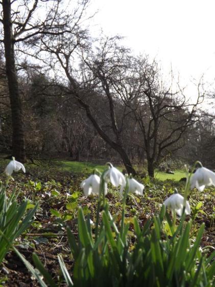 Hedingham Castle Snowdrops (11)