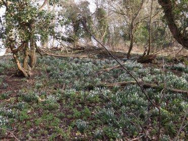 Hedingham Castle Snowdrops (15)