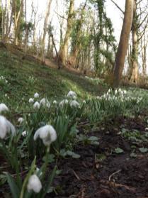 Hedingham Castle Snowdrops (24)