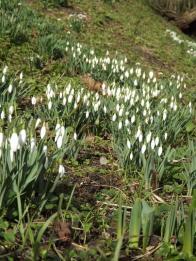 Hedingham Castle Snowdrops (4)
