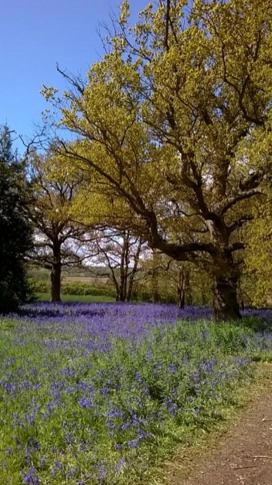 Bluebells at Hillhouse Wood West Bergholt (10)