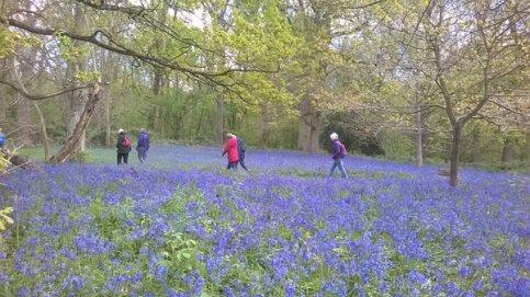 Bluebells at Hillhouse Wood West Bergholt (19)
