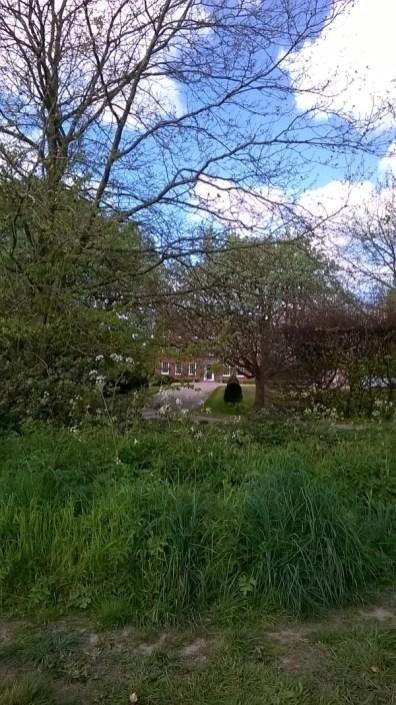 Bluebells at Hillhouse Wood West Bergholt (2)