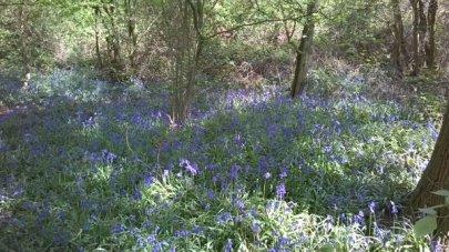 Bluebells at Hillhouse Wood West Bergholt (5)
