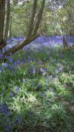 Bluebells at Hillhouse Wood West Bergholt (7)