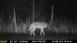 I'd guess this one has enough Wolf genes to be called a Coy-Wolf. He (I'm guessing by size) looks quite tall. (Credit: Wildlife Camera, John Davis)