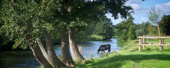 A cow wading in a stream in Dedham Vale