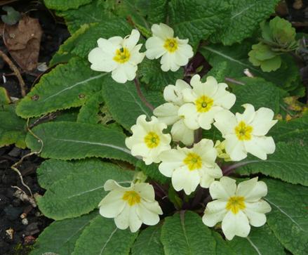 Delicate spring primroses (photo: Caroline Stevens}