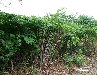 Conveyancing call for Knotweed info shows need for treatment - claim
