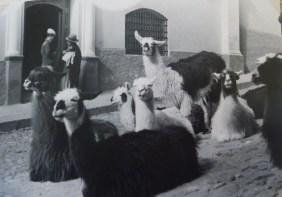 Típicos animais bolivianos