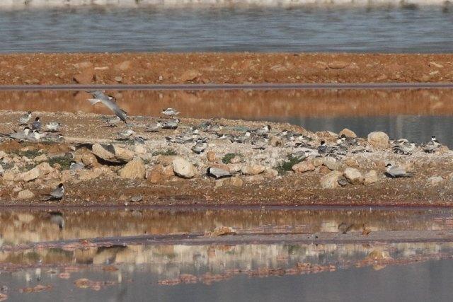 Pollos de charrán patinegro en la laguna de Torrevieja (S. Arroyo)