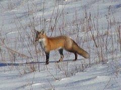 raposa-conjunção-chicote-lenormand
