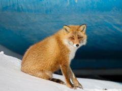 raposa-conjunção-morro